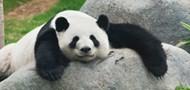 Pandasimogat�sb�l is meg lehet �lni!